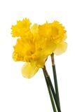 νάρκισσοι κίτρινοι στοκ εικόνες