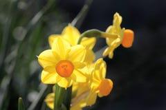 νάρκισσοι κίτρινοι Στοκ εικόνες με δικαίωμα ελεύθερης χρήσης