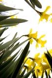 νάρκισσοι λουλουδιών Στοκ εικόνα με δικαίωμα ελεύθερης χρήσης