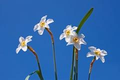 νάρκισσοι ομάδας λουλουδιών Στοκ εικόνα με δικαίωμα ελεύθερης χρήσης