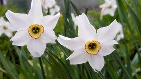 νάρκισσοι λουλουδιών Στοκ Εικόνες
