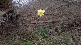 Νάρκισσοι που περιβάλλονται (Daffodil) από Brambles διαμάντι τραχύ Στοκ Εικόνες
