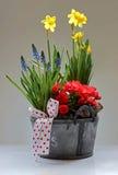 Νάρκισσοι, Begonia και armeniacum Muscari Στοκ φωτογραφία με δικαίωμα ελεύθερης χρήσης