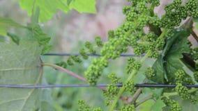 Νέα άμπελος στο wineyard Κινηματογράφηση σε πρώτο πλάνο της αμπέλου Wineyard στην άνοιξη Τοπίο αμπελώνων Σειρές αμπελώνων στο νότ απόθεμα βίντεο