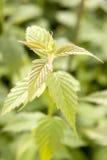 νέα άνοιξη φυτών Στοκ Εικόνες