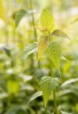 νέα άνοιξη φυτών Στοκ Εικόνα
