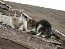Νέα άπειρα ντροπαλά άγρια γατάκια στη στέγη μιας παλαιάς αγροτικής σιταποθήκης Ένα ζευγάρι των αξιολύπητων άστεγων μικρών γατών Στοκ φωτογραφίες με δικαίωμα ελεύθερης χρήσης