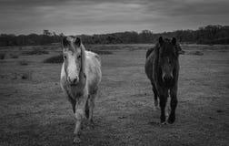 Νέα δάσος, πόνι και άλογο Στοκ Φωτογραφίες