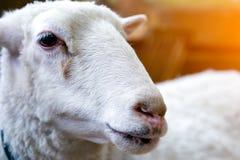 Νέα άσπρα πρόβατα Στοκ Εικόνες
