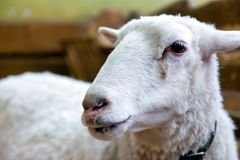 Νέα άσπρα πρόβατα Στοκ φωτογραφία με δικαίωμα ελεύθερης χρήσης