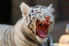 Νέα άσπρη τίγρη της Βεγγάλης στοκ εικόνα με δικαίωμα ελεύθερης χρήσης