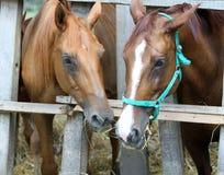 Νέα άλογα Thorougbred που μασούν το σανό στο αγρόκτημα Στοκ φωτογραφίες με δικαίωμα ελεύθερης χρήσης