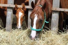 Νέα άλογα Thorougbred που μασούν το σανό στο αγρόκτημα Στοκ εικόνα με δικαίωμα ελεύθερης χρήσης