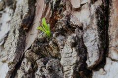Νέα έννοια ζωής Ένας μικρός νεαρός βλαστός εμφανίζεται από τον κορμό ενός παλαιού δέντρου λευκών στοκ εικόνες