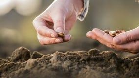 Νέα έννοια ζωής - το ανθρώπινο χέρι είναι έτοιμο το σιτάρι στο χώμα στοκ εικόνα