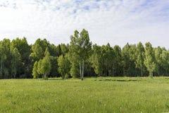 Νέα δέντρα σημύδων σε ένα λιβάδι στην άκρη του δασικού σαφούς ηλιόλουστου πρωινού στοκ φωτογραφία