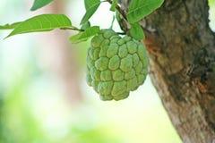 Νέα ένωση μήλων κρέμας στο δέντρο, μήλο ζάχαρης στοκ εικόνα με δικαίωμα ελεύθερης χρήσης