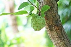 Νέα ένωση μήλων κρέμας στο δέντρο, μήλο ζάχαρης στοκ φωτογραφίες
