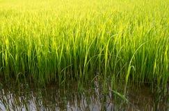 Νέα έτοιμη ανάπτυξη νεαρών βλαστών ρυζιού στον τομέα ρυζιού Στοκ Φωτογραφία