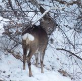 Νέα έλαφος το χειμώνα στο δάσος Στοκ Φωτογραφίες