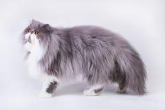 Νέα δίχρωμη περσική γάτα Στοκ εικόνες με δικαίωμα ελεύθερης χρήσης