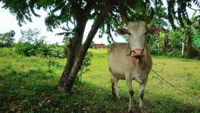 Νέα αγελάδα Στοκ Φωτογραφίες