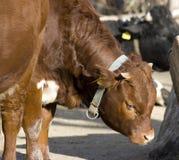 Νέα αγελάδα Στοκ Εικόνες