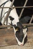 Νέα αγελάδα γάλακτος σε έναν σταύλο στοκ φωτογραφία με δικαίωμα ελεύθερης χρήσης