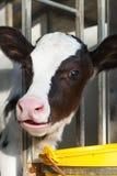Νέα αγελάδα σε έναν σταύλο Στοκ Φωτογραφίες