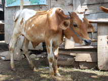 Νέα αγελάδα στο κλουβί Στοκ φωτογραφίες με δικαίωμα ελεύθερης χρήσης