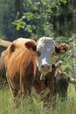 Νέα αγελάδα Στοκ φωτογραφία με δικαίωμα ελεύθερης χρήσης