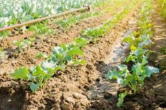 Νέα ανάπτυξη μπρόκολου στον τομέα φρέσκια οργανική καλλιέργεια γεωργίας λαχανικών καλλιεργήσιμο έδαφος στοκ φωτογραφία