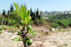 Νέα ανώριμα πράσινα σύκα σε έναν κλάδο στον κήπο Κριμαία στοκ εικόνα