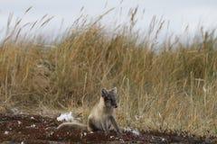 Νέα αρκτική αλεπού, Vulpes Lagopus, στα χρώματα πτώσης που κοιτάζουν επίμονα μακριά στην απόσταση κοντά στο κρησφύγετό του στοκ εικόνα