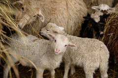 Νέα αρνιά και ενήλικα πρόβατα Στοκ εικόνες με δικαίωμα ελεύθερης χρήσης
