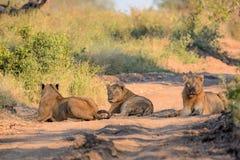 Νέα αρσενικά λιοντάρια στο εθνικό πάρκο Kruger Στοκ Φωτογραφία