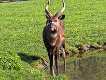 Νέα αρσενική δύση - αφρικανικό Sitatunga, gratus spekei Tragelaphus Στοκ Φωτογραφίες