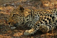 Νέα αρσενική λεοπάρδαλη που κοιτάζει νευρικά γύρω στοκ φωτογραφίες