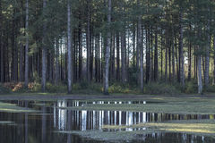 Νέα δασικά δέντρα Στοκ Εικόνα