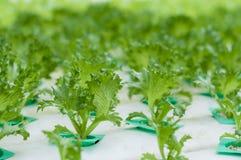Νέα αύξηση μαρουλιού hydroponics του συστήματος Στοκ Φωτογραφίες