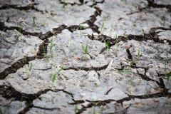 Νέα αύξηση νεαρών βλαστών ρυζιού από τη ραγισμένη γη Στοκ Εικόνα
