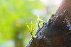 Νέα αύξηση φύλλων μάγκο από τον κορμό δέντρων στον κήπο Στοκ Εικόνες