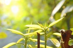 Νέα αύξηση φύλλων μάγκο από τον κορμό στον κήπο Στοκ εικόνες με δικαίωμα ελεύθερης χρήσης