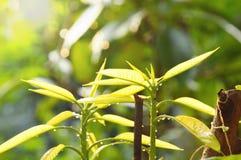 Νέα αύξηση φύλλων μάγκο από τον κορμό στον κήπο Στοκ φωτογραφία με δικαίωμα ελεύθερης χρήσης