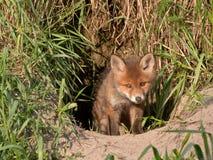 Νέα αλεπού στοκ εικόνες