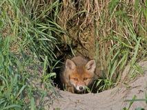 Νέα αλεπού Στοκ φωτογραφίες με δικαίωμα ελεύθερης χρήσης