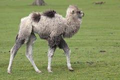 Νέα βακτριανή καμήλα Στοκ Εικόνες