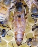 Νέα βασίλισσα μελισσών μελιού στοκ φωτογραφία με δικαίωμα ελεύθερης χρήσης