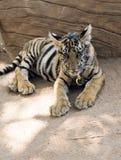 Νέα βεγγαλική τίγρη σε μια αλυσίδα στο ναό τιγρών Στοκ εικόνα με δικαίωμα ελεύθερης χρήσης