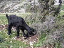 Νέα βοσκή αιγών στο Λίβανο στοκ φωτογραφία